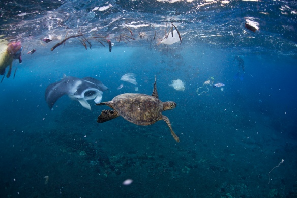 A manta ray and green sea turtle feed amongst the rubbish after strong winds blew garbage into the mouth of Hanauma Bay, Oahu. Here you can see plastic bags, milk jugs, string, and assorted plastic floating offshore at one of Oahu's highest-rated beaches. John Johnson john@onebreathphoto.com